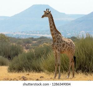 Africa, Namibia, Damaraland, Palwag Concession. Solitary giraffe.