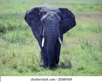 Africa Safari - Elephant