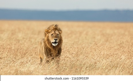 AFRICA, SAVANA - MARCH, 2016 - A lone lion camouflaged in the vegetation looking at prey