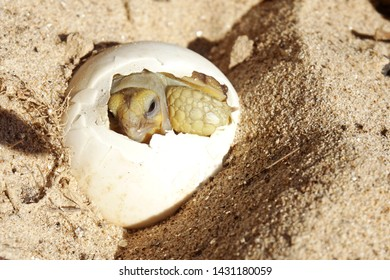 Africa spurred tortoise being born, Tortoise Hatching from Egg, Cute portrait of baby tortoise hatching, Birth of new life, Baby Tortoise in Natural Habitat