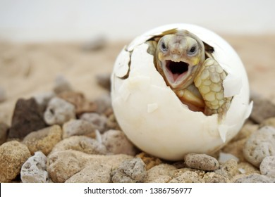 Africa spurred tortoise are born naturally,Tortoise Hatching from Egg,Cute portrait of baby tortoise hatching ,Birth of new life,Baby Tortoise in Natural Habitat