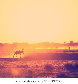 Africa sunset landscape with silhouetted Impala walking on the dusty ground in Botswana, Africa with retro style filter effect