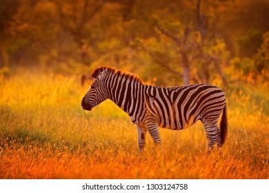 Africa sunset. Plains zebra, Equus quagga, in the grassy nature habitat, evening light, Kruger National Park, South Africa. Wildlife sun scene from African nature. Zebra orange sunrise with trees.