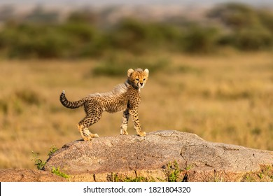 Africa, Tanzania, Serengeti National Park. Baby cheetah on boulder.