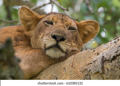 Africa, Uganda, Ishasha, Queen Elizabeth National Park. Lioness, (Panthera leo) in tree, resting on branch. 2016-08-04