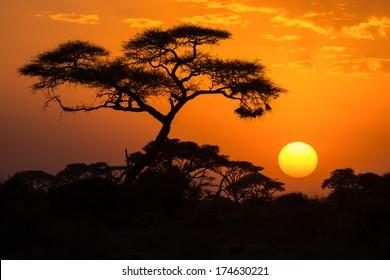 African Acacia tree in the last daylight, Amboseli National Park, Kenya.