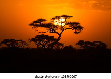 African Acacia tree in the last daylight, Amboseli National Park, Kenya.