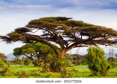African acacia tree in misty light