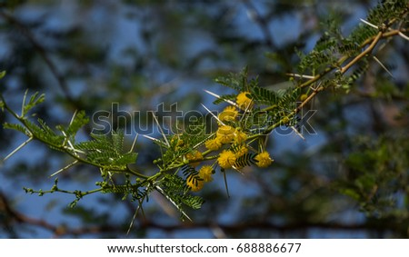 African Acacia Tree Yellow Flowers Against Stock Photo Edit Now
