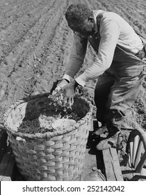 African American farmer planting cotton in a plowed field in Butler County, Alabama. April 1941. 13_99)