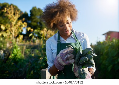 african american female gardener inspecting freshly picked kale from urban community garden
