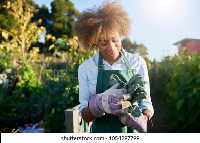 african american female gardener inspecting freshly picked kale from urban community garden