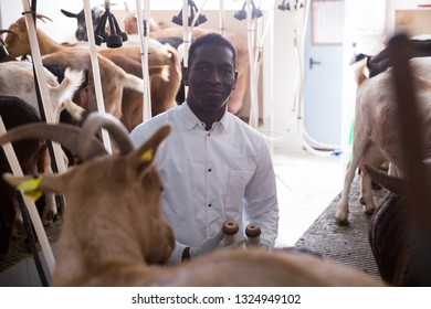 African American male worker in white coat preparing equipments for automatic milking of goats on farm