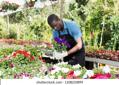 African American man florist working in sunny greenhouse full of flowers