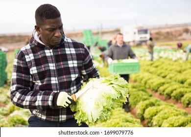 Afroamerikanischer Großgärtner, der Salaternte pflückt und im Garten mit Messer arbeitet