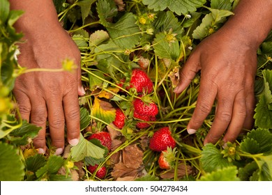 African American man and his son picking strawberries.