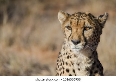 African animals: Cheetah in conservation area in Namibia