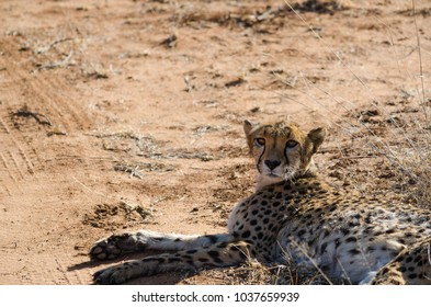 African animals: Ð¡heetah in conservation area in Namibia