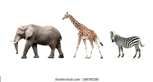 African animals (Elephant, Giraffe, Zebra) isolated on white background