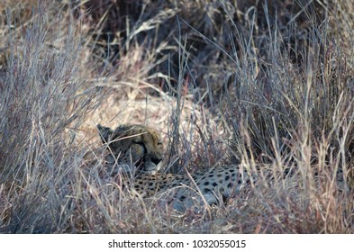 African animals: Ð¡heetah hiding and sleeping in dry grass, conservation area in Namibia