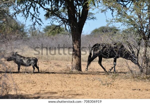 African Animals South Africa Stock Photo (Edit Now) 708306919