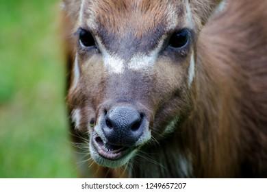 African antelope Nyala (Tragelaphus angasii) chewing. Close up portrait