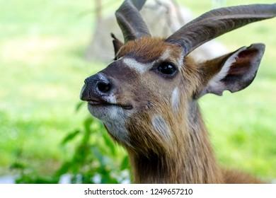African antelope Nyala (Tragelaphus angasii). Close up portrait