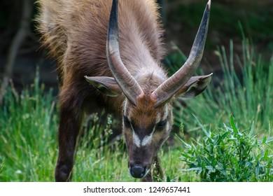 African antelope Nyala (Tragelaphus angasii)