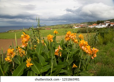 African arrowroot, Canna indica flowering on an open farm space azores landscapes