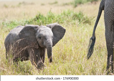 african baby elephant in the savannah following its mother - national park masai mara in kenya