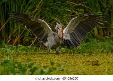 African Balaeniceps (Balaeniceps rex) is a large African bird from the order of the rocks, known especially because of its conspicuously shaped beak.