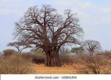 African Baobab  (Adansonia digitata) tree in the tanzanian savannah.