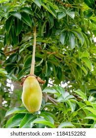Baobab Frucht Images Stock Photos Vectors Shutterstock