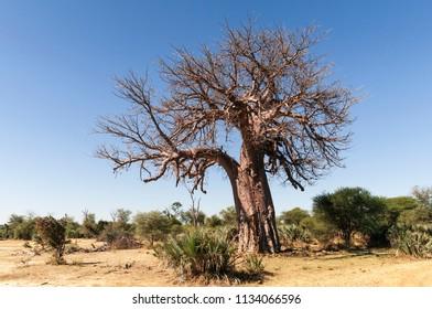 African Baobab in Namibia, Africa. / African baobab, Adansonia digitata