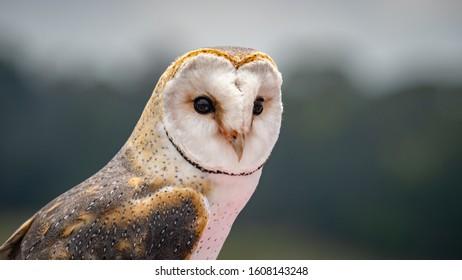 African Barn Owl closeup looking for prey