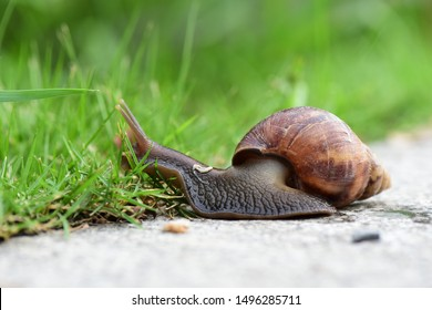 African big snails that appear in the grass during the rainy season