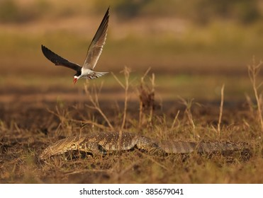 An african bird with bright, long, orange beak, African Skimmer, Rynchops flavirostris attacking Nile monitor, Varanus niloticus and defending  its nest on Chobe riverbank in colorful light.