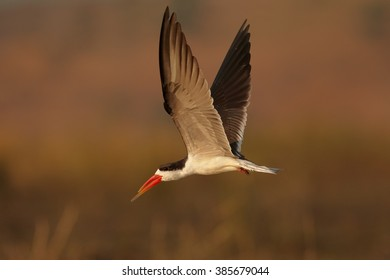 An african bird with bright, long, orange beak, African Skimmer, Rynchops flavirostris flying over dry grass on Chobe riverbank in colorful, late afternoon light against blurred, orange background.