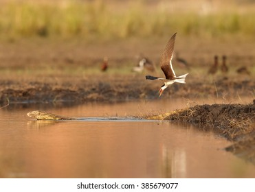 An african bird with bright, long, orange beak, African Skimmer, Rynchops flavirostris attacking Nile monitor, Varanus niloticus, near its nest on Chobe riverbank in colorful, late afternoon light.