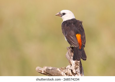 An african bird known as White-headed Buffalo Weaver, Dinemellia dinemelli, perched on a branch in Serengeti National Park, Tanzania
