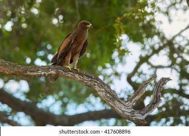 African bird of prey, Wahlberg's eagle, Hieraaetus wahlbergi perched on branch against blurred green treetop in background. Kruger national park, South Africa.