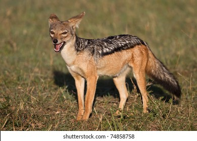 African black backed jackal, in its natural evironment.