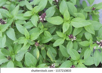 African Blue Basil (Ocimum Kilimandscharicum) Camphor Basil – Kapoor Tulsi Flowers and buds blooming in garden,plant has green color leaves and purple color flowers. It has strong camphor scent.