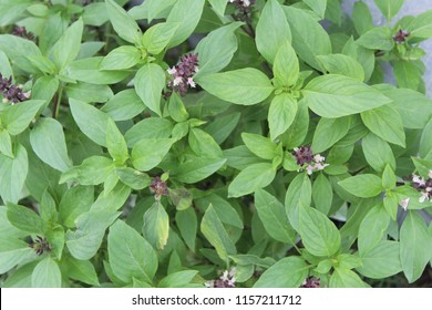 African Blue Basil (Ocimum Kilimandscharicum) Camphor Basil – Kapoor Tulsi Flowers and buds blooming in garden. It has strong camphor scent and all parts of the flower,leaves and stems are edible.