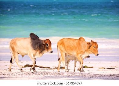 African brown cows walking along beach in Zanzibar