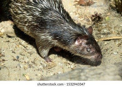 African Brush Tailed Porcupine Portrait