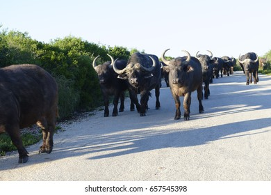 African Buffalo, Addo Elephant National Park, Eastern Cape, South Africa