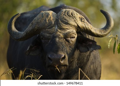 African buffalo bull, South Africa