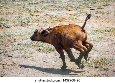 African buffalo calf running in Kruger National park, South Africa ; Specie Syncerus caffer family of Bovidae