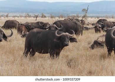 African Buffalo cape buffalo